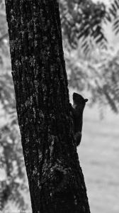 2015.06.03.9568 Squirrel in Silhouette copy