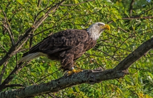 2015.08.02.0598 Eagle
