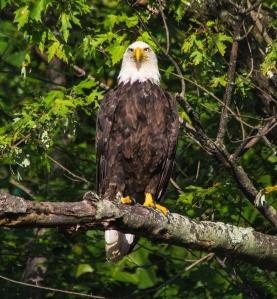 2015.08.02.0638 Eagle