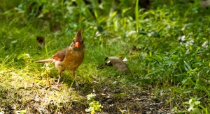 2015.08.13.3386 Female Cardinal