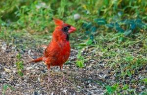 2015.09.05.4156 Cardinal