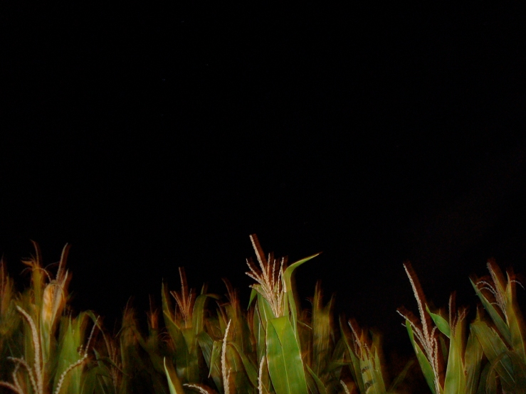 Halloween Special No. 1: Trapped in a corn maze at Ikenberry Orchards in Daleville, Va.Photo taken Oct. 11, 2008. Sony DSC-W80. JPEG. 5.8mm. 2.0 secs.  f/2.8.   ISO 250.