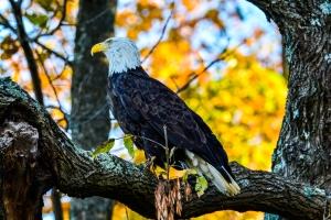2015.10.31.8790 Eagle