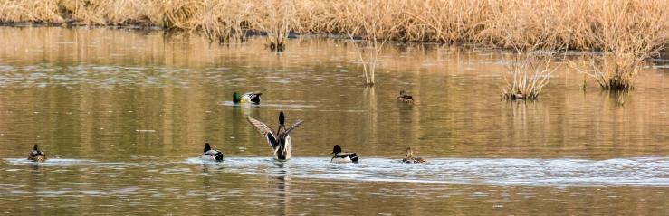 2015.11.27.9439 Duck