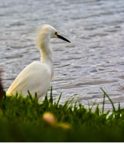 2010.01.05.0432 Snowy Egret