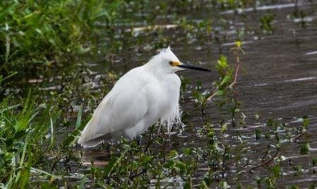 2010.01.06.0596 Snowy Egret