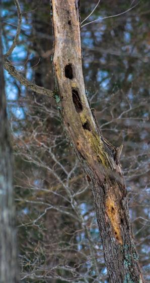 2015.02.24.04 Woodpecker Holes