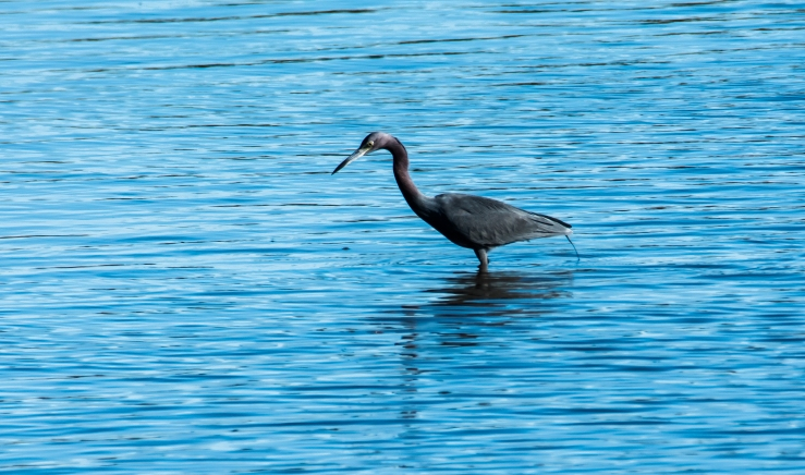 2016.01.04.0292 Little Blue Heron