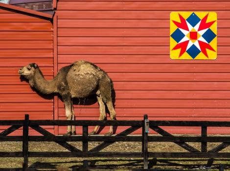 2016.02.18.1113 Camel