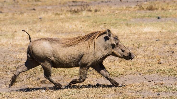 2017.06.20.3257 Warthog (P.O.D.)