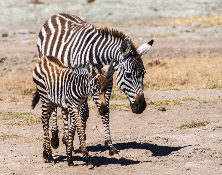 2017.06.20.3277 Zebras (P.O.D.)