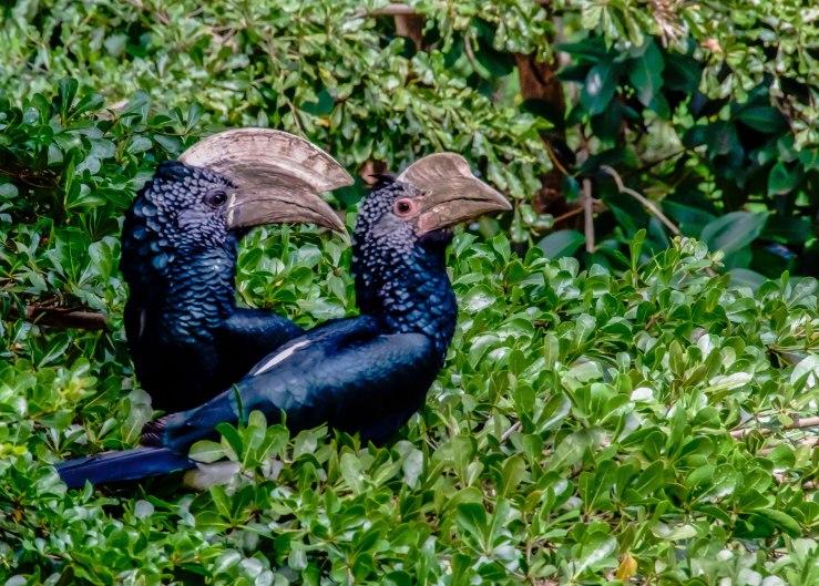 2017.06.28.7089 Gray Hornbills (P.O.D.)