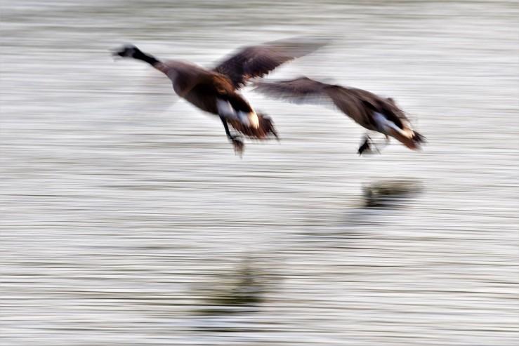 2019.05.21.2334 Geese Landing POD