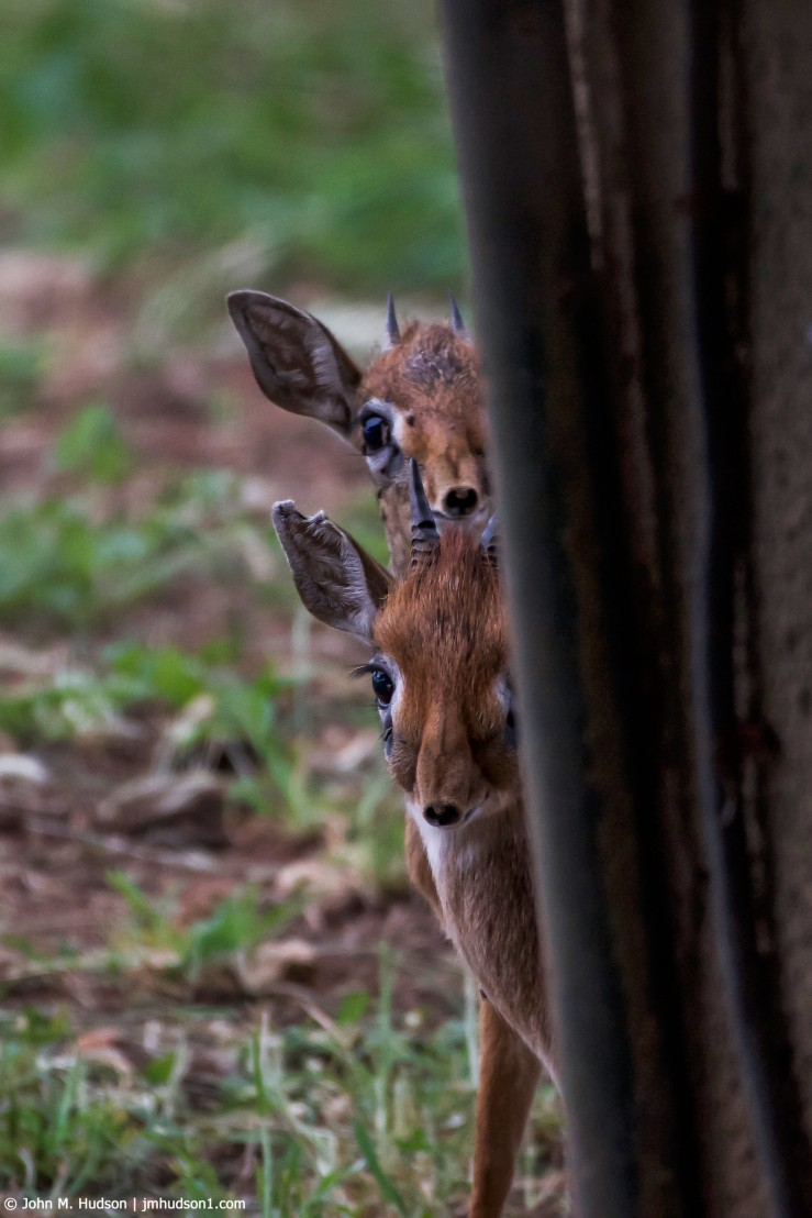 2019.06.03.1269 Dik-Diks Checking Me Out POD
