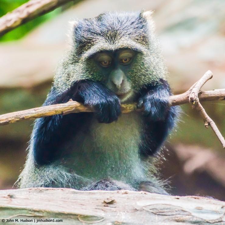 2019.06.04.1903 Blue Monkey POD