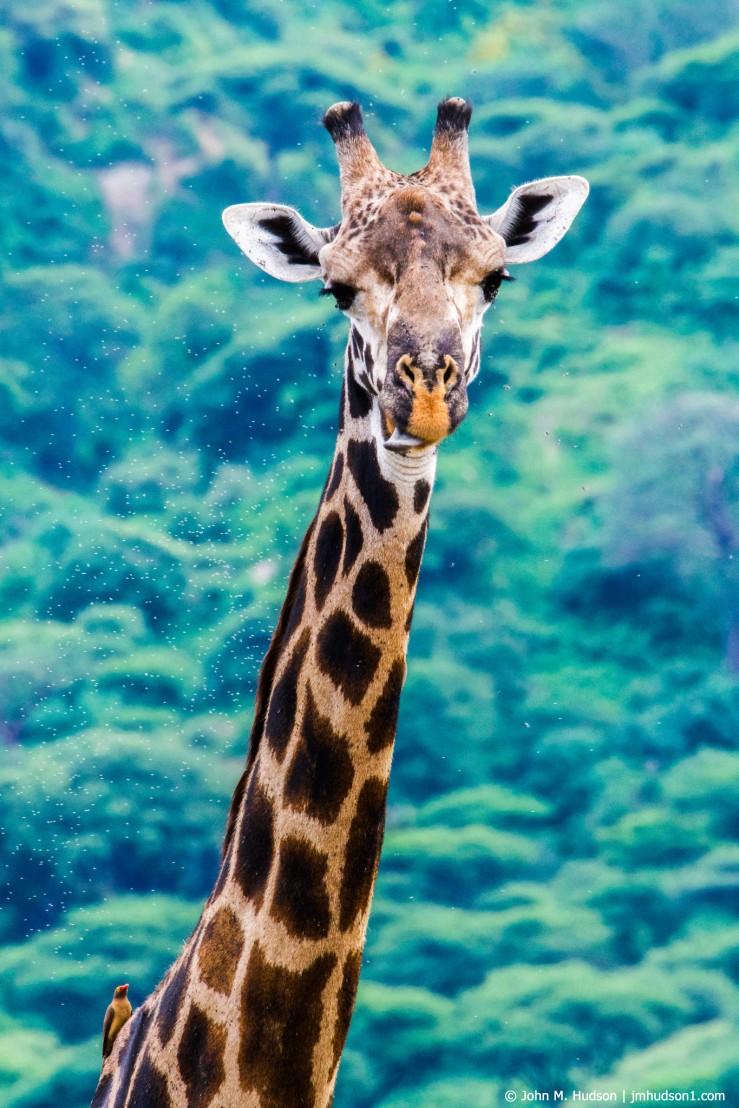 2019.06.04.2290 Maasai Giraffe POD