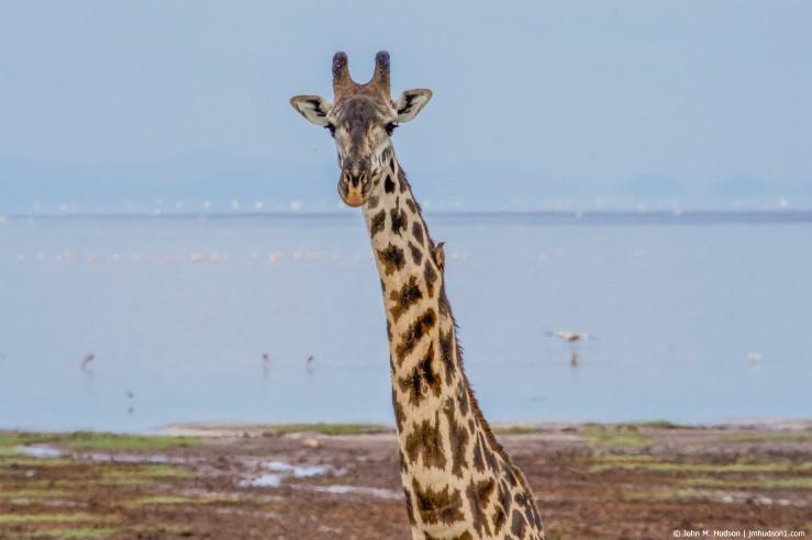 2019.06.04.2338 Maasai Giraffe VI POD