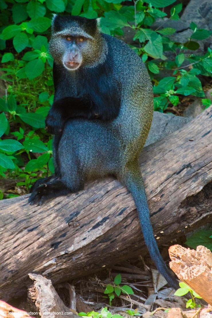 2019.06.04.2841 Manyara Blue Monkey POD