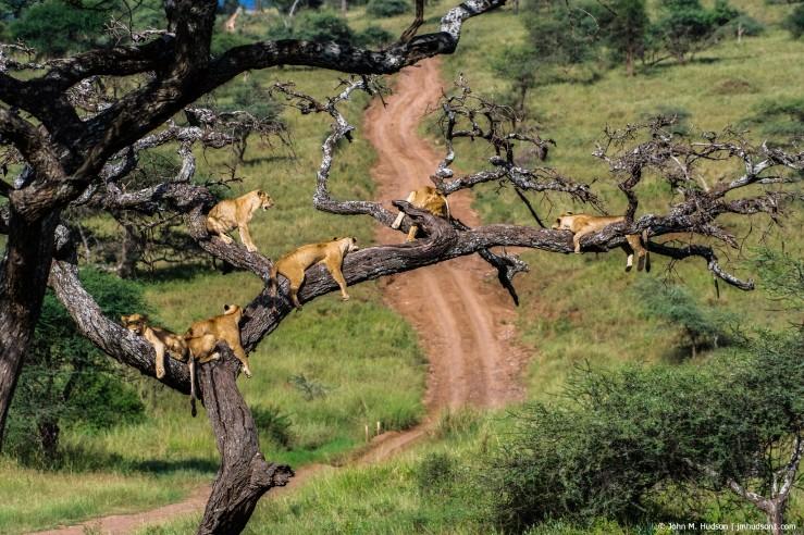 2019.06.06.2990 Lions in Tree III POD