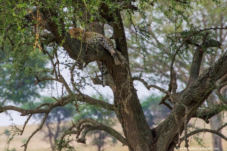 2019.06.07.3261 Seronera Leopard POD