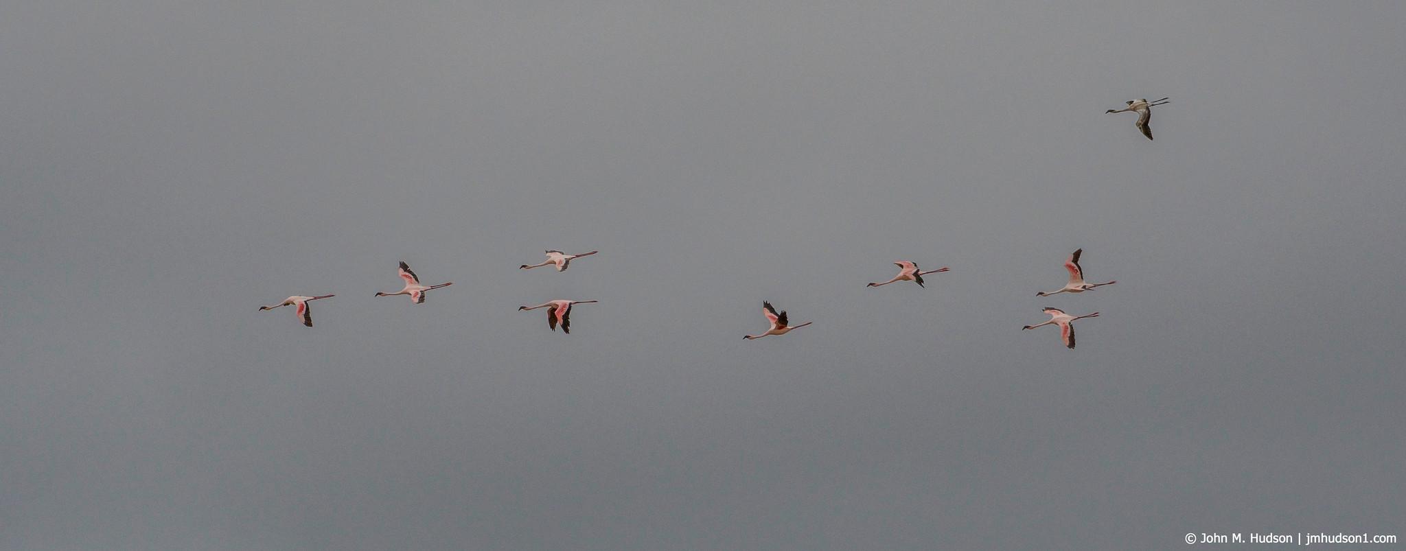 2019.06.09.4244 Flamingos in Flight POD