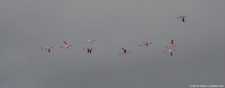 2019.06.09.4244 Flamingos in Flight POD