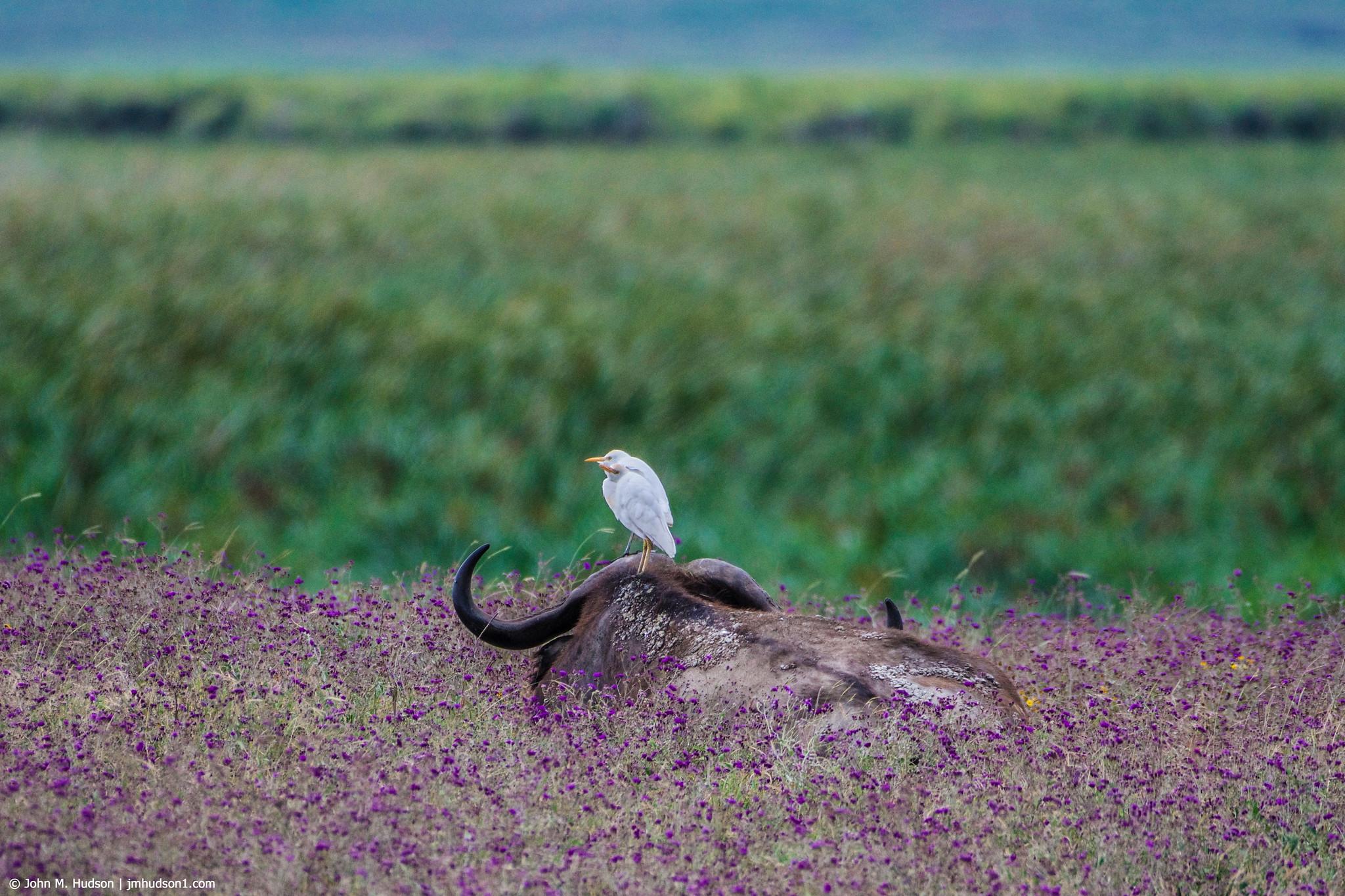 2019.06.09.4575 Buffalo & Egrets POD